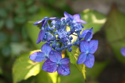 山アジサイ 藍姫