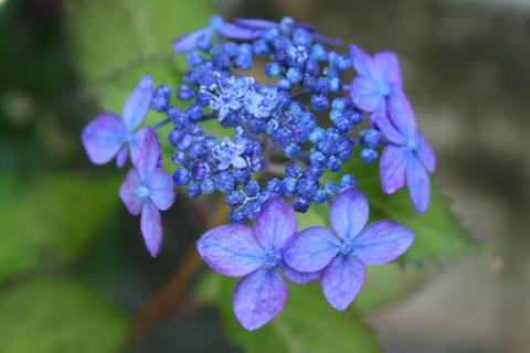 山あじさい「藍姫」