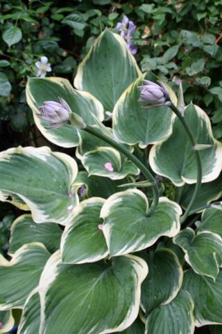 サガエの花茎
