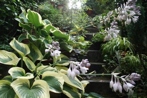 階段のギボウシ2