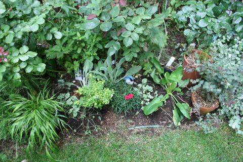 バラ花壇の下草(左)
