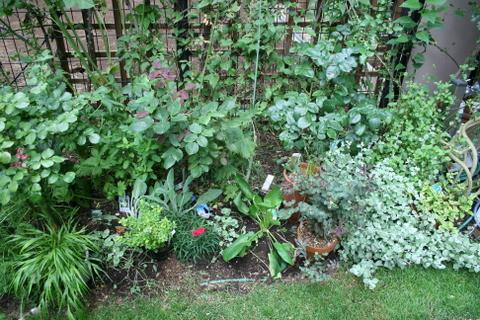 バラ花壇の下草全景