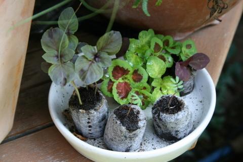 種まきした葉物の発芽