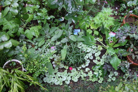 バラ花壇のグランドカバー