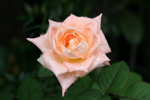 品種不明のアプリコット色のバラ