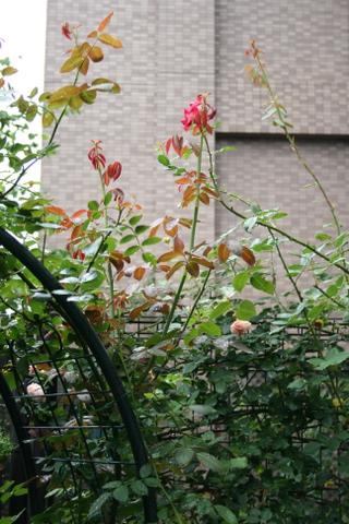 つるバラのシュート