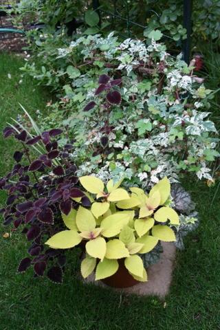 斑入りノブドウの寄せ植え