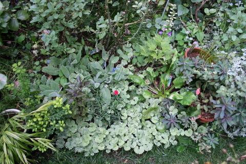 バラ花壇の宿根草2