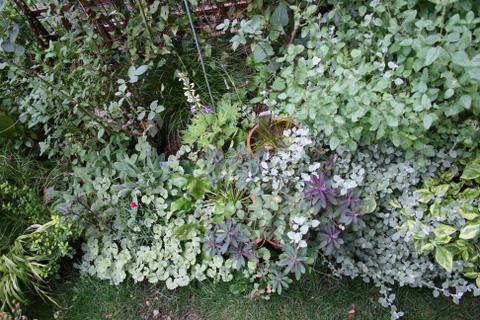 バラ花壇の宿根草1