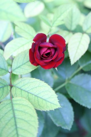 黒蝶3番花