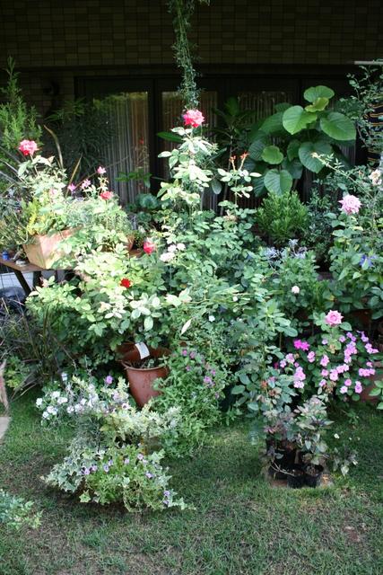 テラス前の鉢バラ