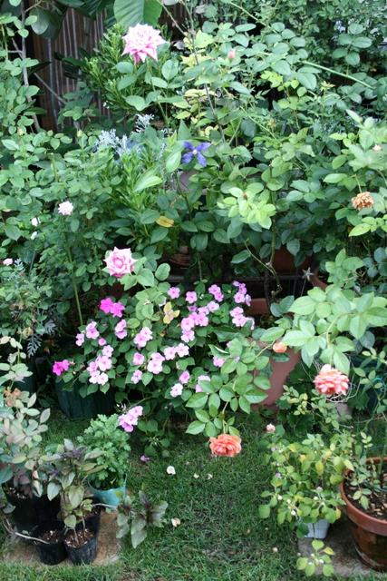 テラス前の鉢バラ 2