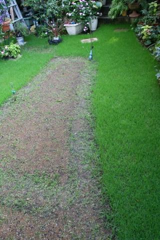 庭の西洋芝の様子