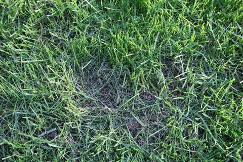 芝の枯れ発生