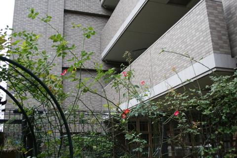 カクテルと伸びるつるバラ