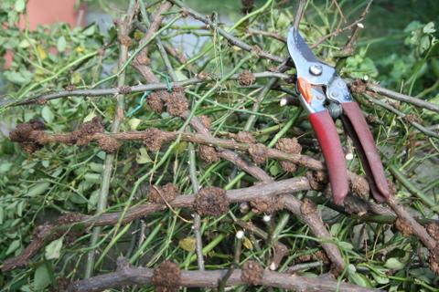 アルバメイディランドの剪定枝
