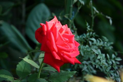 赤バラ不明品種2