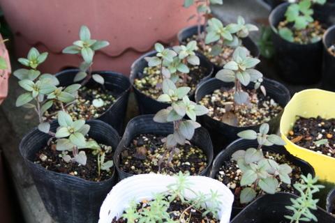 銅葉キンギョソウの小苗