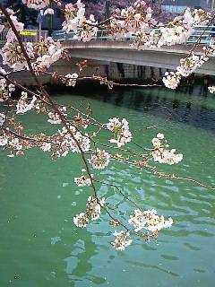 200904031251001橋と桜