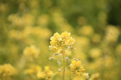 菜の花-3