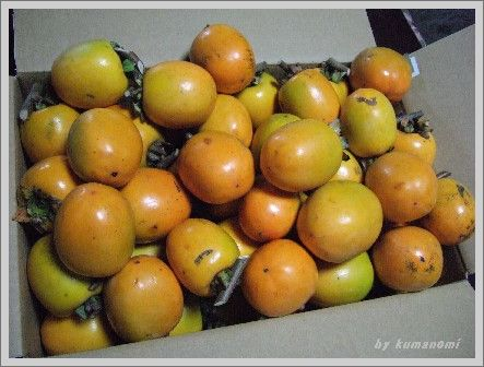 2008渋柿
