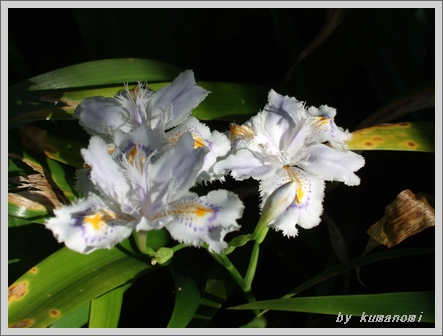2009シャガの花