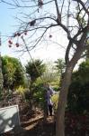 鎌で柿狩り