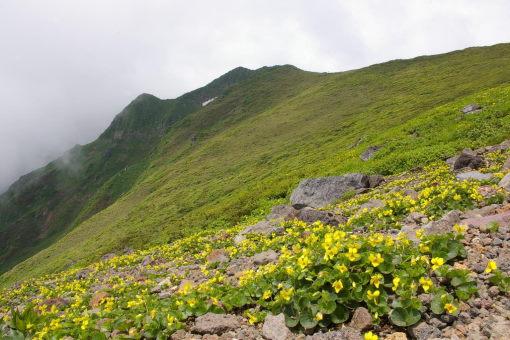 タカネスミレと横岳・男岳_SP0000