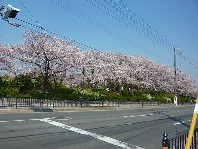 2146美桜公園 (1)