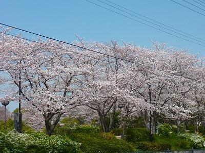 2146美桜公園 (2)