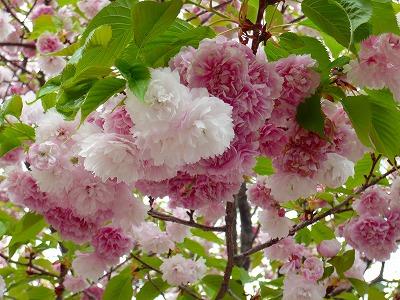 210416桜 (1)