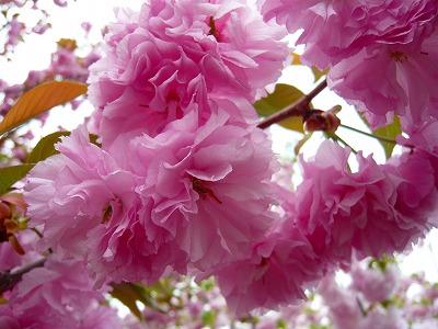 210416桜 (2)