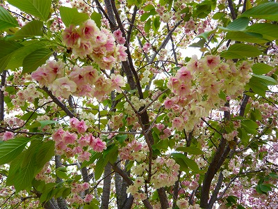 210416桜 (3)