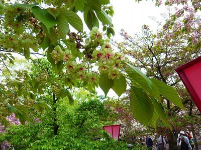 210416桜 (4)