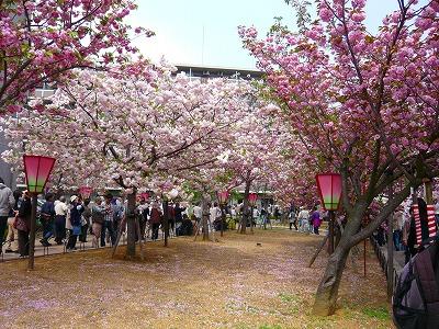 210416桜 (5)