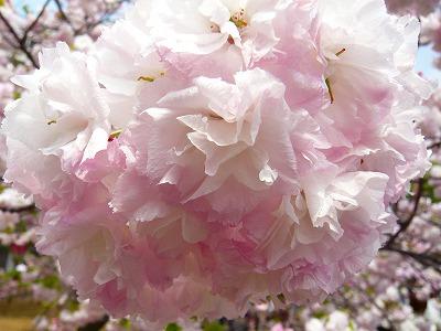 210416桜 (6)