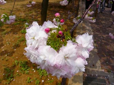 210416桜 (7)