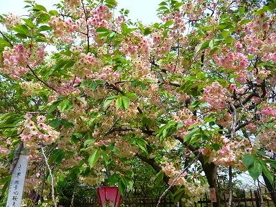 210416桜 (8)