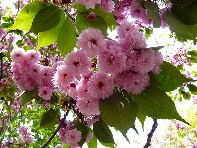 210416桜 (9)
