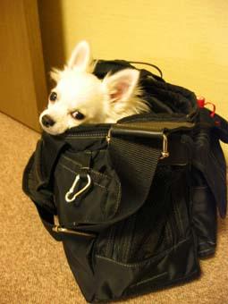 バッグに入り込むサクラ