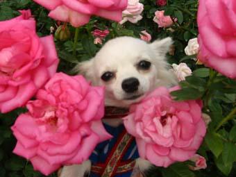 バラに囲まれたサクラ