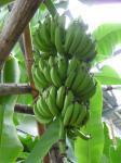 バナナ成る