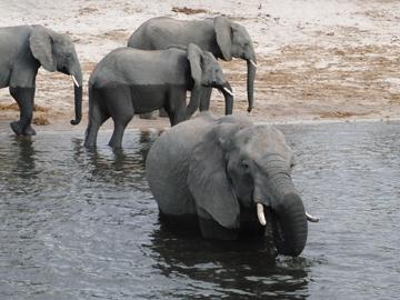 ゾウ、入水