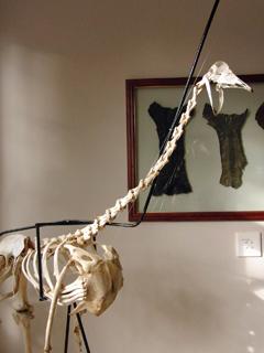 ダチョウ骨格標本