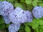雨の似合う花