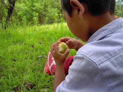 梨を食べる3
