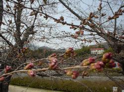 桜ももうすぐ開花