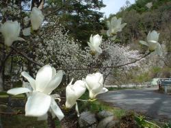 妙琴公園の白蓮