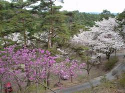 妙琴公園の桜とツツジ