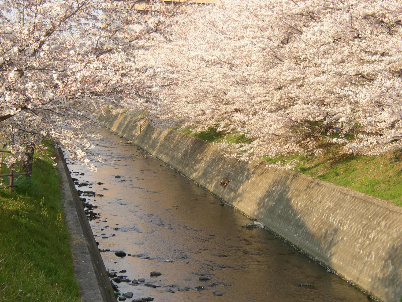 吾妻川桜並木